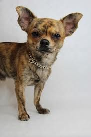 brindle chihuahua for sale best 25 merle chihuahua ideas on pinterest blue merle 3211