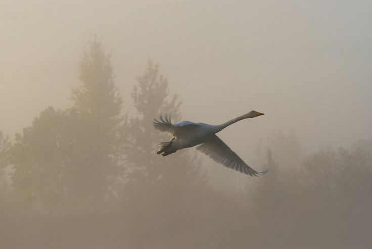A whooper swan flying through the mist of the morning. The whooper swan is…