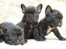 French Bulldog Puppies, Bulldog Francés