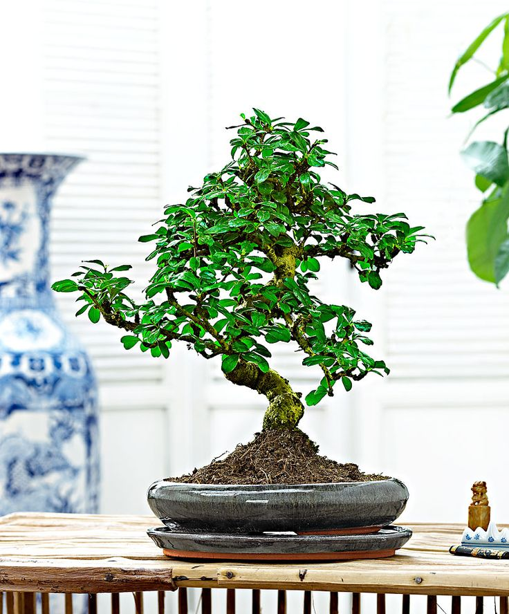For More Information On Bonsai Carmona Microphylla, Visit Our Online Shop  Today And Order From The Gardening Professionals.