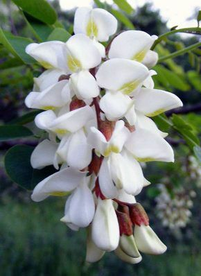 biele tropické kvety - Hledat Googlem