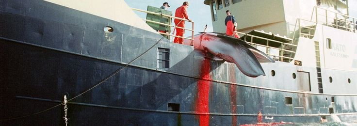 In a few days, Norway will start up the horrific annual slaughter of hundreds of mostly pregnant whales. We can stop it before it starts. Click here to add your name