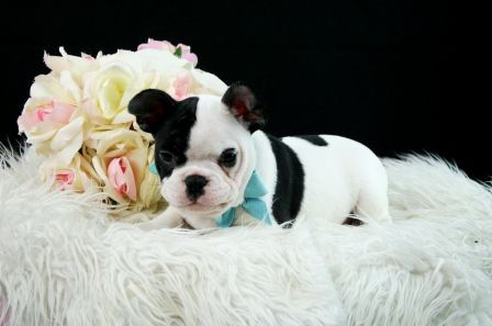 ★ ☆ ✮Frenchie Puppy★ ☆ ✮ Name: Flex Micro Chip: 0A02270718 | Registry:UABR http://www.teacuppuppiesstore.com/FrenchBulldogPuppies.html email: gteacups@yahoo.com Tel: (954) 353-7864 #frenchie #frenchbulldogpuppy #frenchbulldog #frenchbulldogspuppies #frenchies-puppies-for-sale #puppy #puppylove #dog #dogs #dogsrock #pet #fortlauderdale #miami #bocaraton #dade #broward #palmbeach #teacups