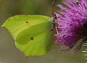 Brimstone: Jim Asher,  Sulfur Butterflies, Butterflies Conservation