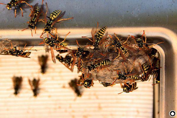 ES: Fotografías de nido de avispas EN: Photographs wasp nest