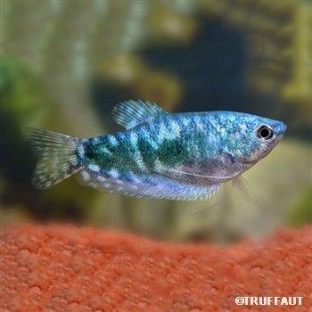 Les 25 meilleures id es de la cat gorie poisson d 39 eau for Aquarium poisson rouge eau