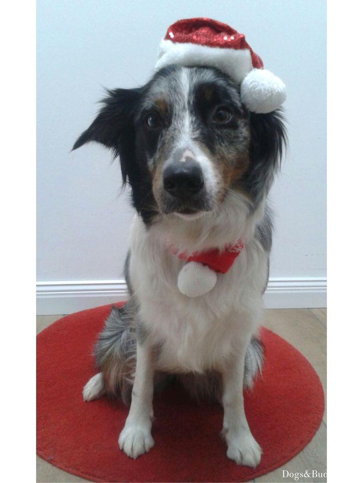 Mei - Aussie - Australian Shepherd- Aussies - Dogsundbuddies -Dogs&Buddies- Dogblogger- Dogblog- Hundeblogger - Hundeblog