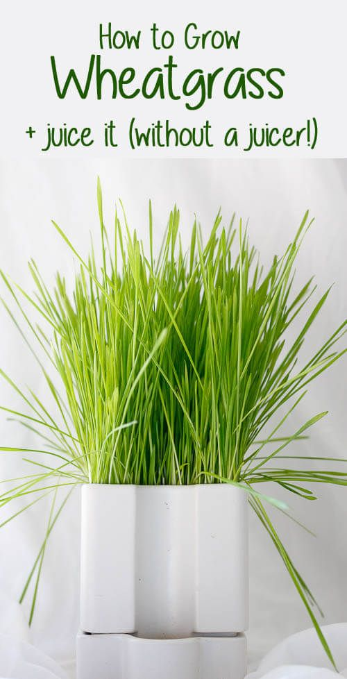 Do you love wheatgrass juice, and want to make your own? This easy tutorial will show you How to Grow Wheatgrass, and then also How to Juice Wheatgrass (without a juicer!).