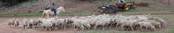 See sheep herding and shearing on a farmstay tour from Sydney. Bill rides Gypsy Rose at Inglevale