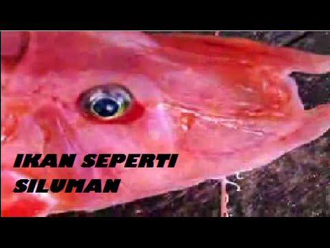 Aneh, Video Aneh Aneh, Ikan Aneh, Aneh Tapi nyata, Ikan adalah suatu hewan air yang dapat kita temuakan di laut ataupun di empang. apa jadinya bila yang kita temukan adala