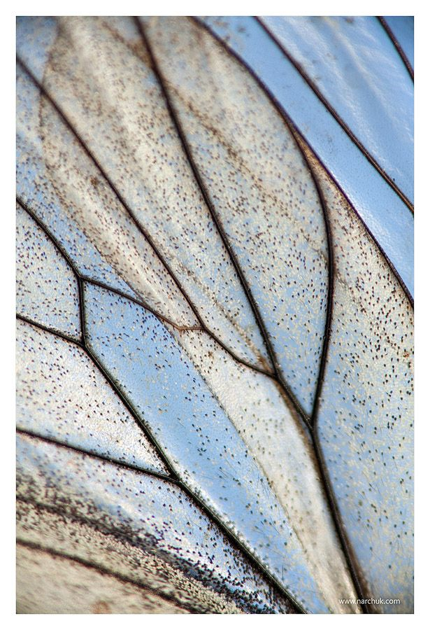 Butterfly wing by Andrey Narchuk