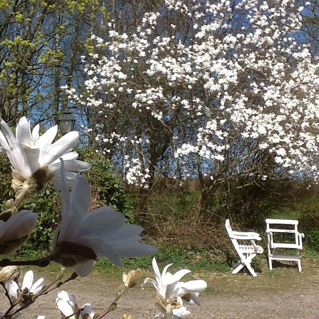 Magnolia Stellata and Magnolia Merrill in my garden today /Ann-Sofi #Padgram