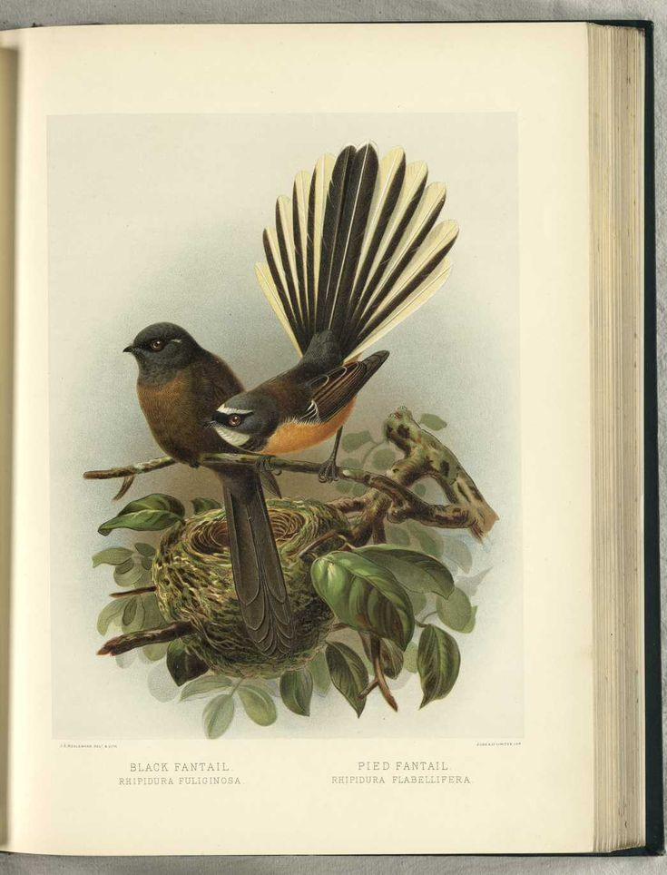 NZ Black Fantail & Pied Fantail by JG Keulemans (from Walter Buller's 'A History of The Birds of New Zealand' - 1870's)