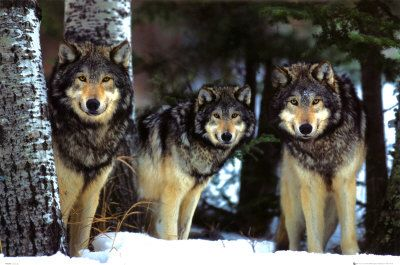 Wolf1: Is that a camera? Wolf2: OMG YES IT IS! Wolf3: QUICK! STRIKE A POSE!