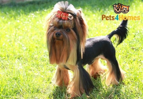 Miniature Yorkshire Terrier For Stud Kc Registred Rotherham