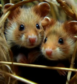 European hamsters / YLE TV1 Luontohetki Hamsterin kotikonnuilla