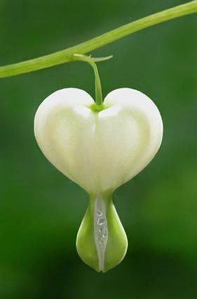 White Bleeding Heart mother nature moments