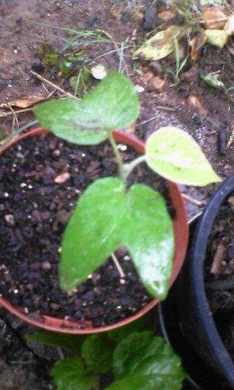 Baby Hawaiian Wood Rose