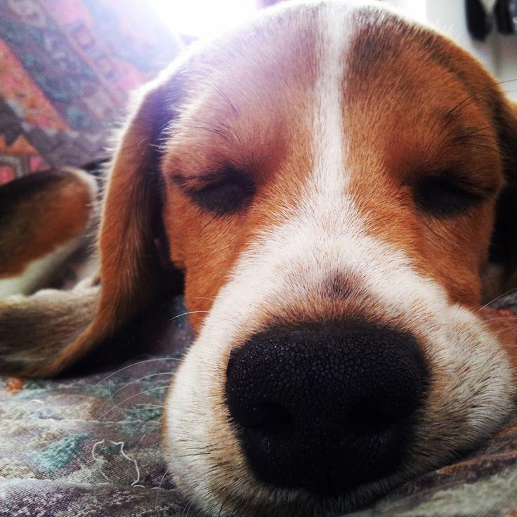 Zzz #beagle #dogs #naps