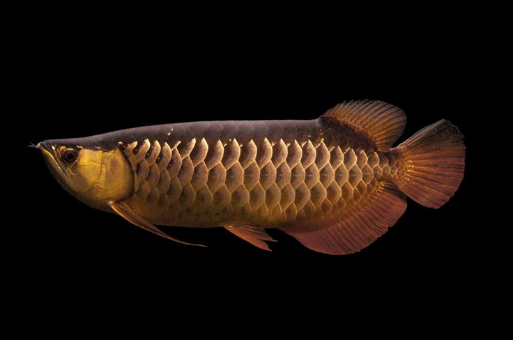 49 best images about arowana on pinterest blue gold for Arowana tank decoration