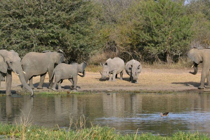 Rhino and Elephant confrontation, Elephant gave way