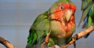 Agapornis | Aves Exóticas. Romuald habla de SEO con redes sociales un saludo.