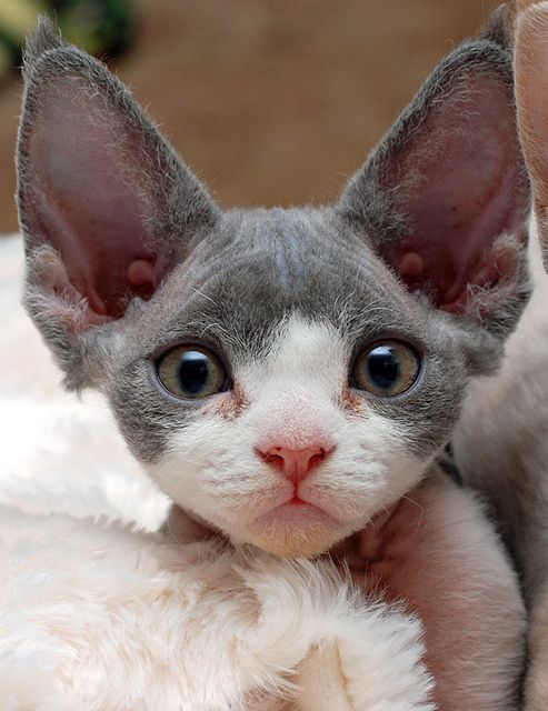 This breed is special because of its lack of an outer coat. Cornish Rex cats only have the soft, down-like undercoat fur that hides underneath the longer coats of regular cats. The coat is often curly, and is considered to be the softest of any cat breed.