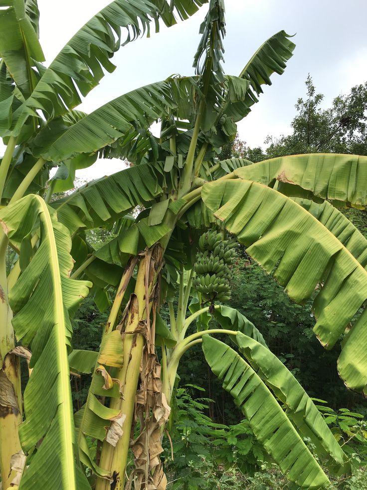 Banana Tree Thailand