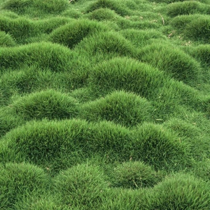 Zoysia Grass Zoysia tenuifolia                                                                                                                                                                                 Más