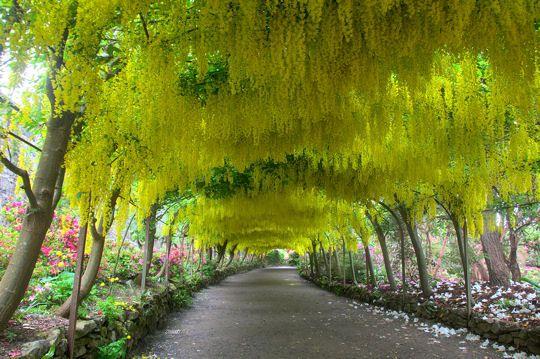 Le jardin de Bodnant est l'un des plus beaux du Pays de Galles, occupant le sud-ouest d'un parc en terrasses qui surplombe la rivière Conwy. Le jardin est spectaculaire au printemps, avec de magnifiques rhododendrons, camélias et magnolias. A l'image, l'arc de cytises forme un tunnel de 55 mètres de long près de l'entrée principale.