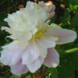 """GOLLY  Pink, dbl, lightly fragrant mid-season, 34"""" tall cultivar. Peony Farm Gardens"""