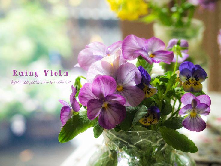 道のりを記憶に残して: 雨の日のビオラとイベリス&黄色いお花/花・ガーデニング