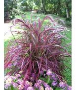 Fireworks Fountain Grass (Pennisetum setaceum 'Fireworks' P.P.# 18504) - Monrovia - Fireworks Fountain Grass (Pennisetum setaceum 'Fireworks' P.P.# 18504)