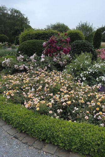 love shrub roses behind the boxwoods exteriors pinterest. Black Bedroom Furniture Sets. Home Design Ideas
