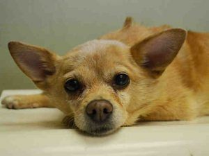TO BE DESTROYED 05/09/16 **POSSIBLY HIT BY CAR** CALLING ALL ANGELS! Be prepared to be very, very pissed off after looking through Maddie's shelter notes, and also to be very, very sad. It's terrible to think that the kind of person who would abandon an ill senior Chi, the kind of person who would have allowed Maddie to get to the physical shape she's in....that person walked freely in the 10456 zip code on May 5th. Did they carry Maddie, who has a broken leg and mammary cancer, then wedge…
