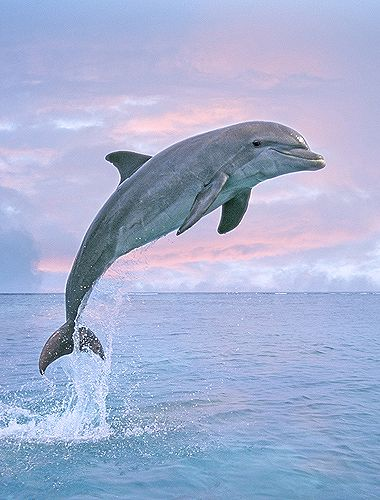 "Bottlenose Dolphin Jumping,….. PINK SKY ……..OCEAN-BLUE WATER AND WHITE FLUFFY CLOUDS……WHAT A BEAUTIFUL COMBINATION…….THANK YOU DEAR LORD--- -- OH! THAT HAPPY SMIRKING DOLPHIN'S NAME IS -- ""DAPHNE""………..ccp"