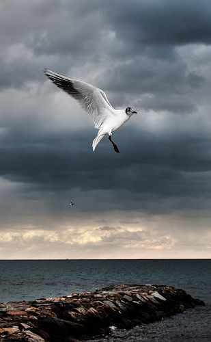 Loano (SV) - Seagull
