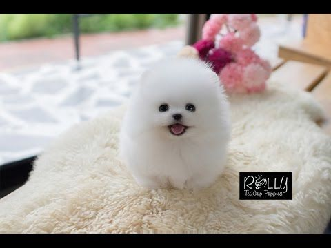 Amazing Doll Face Pomeranian Tiffany Rolly Teacup Puppies