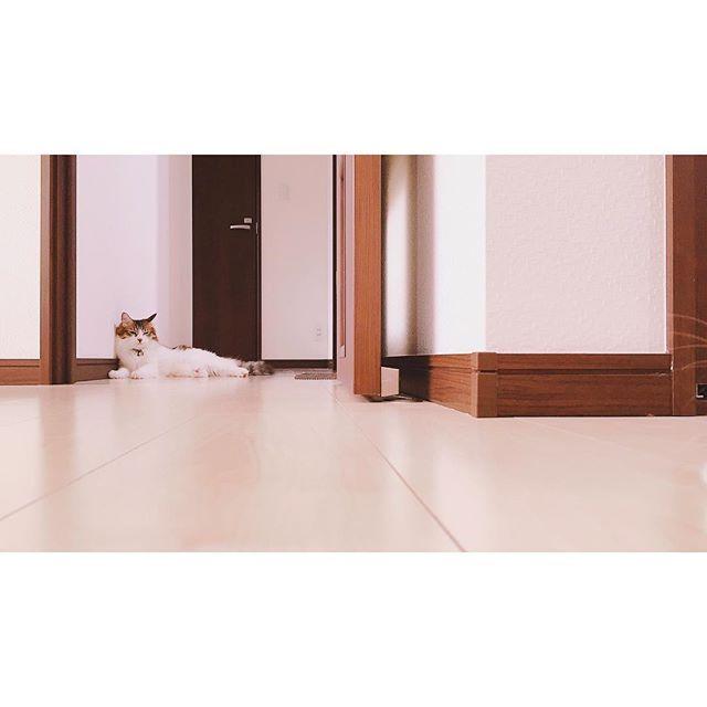 ❁︎❁︎❁︎ りゅうは壁とかドアと色が同じだから おうちと同化しててとても似合うね ෆ ・ 自分の体の変化についていけなくて落ち込む。 ・ ・ #猫#ねこ#にゃんこ#cat #NorwegianForestCat#NFC #ノルウェージャンフォレストキャット #gato#gatinho#cute#ペット#pet #双子猫#兄弟猫 #にゃんず#にゃんズ #愛猫#溺愛#ねこ部#ふわもこ部 #にゃんすたぐらむ #catstagram#癒し #にゃんだふるらいふ #可愛い#親ばか#猫バカ#love #妊娠初期#妊娠3ヶ月