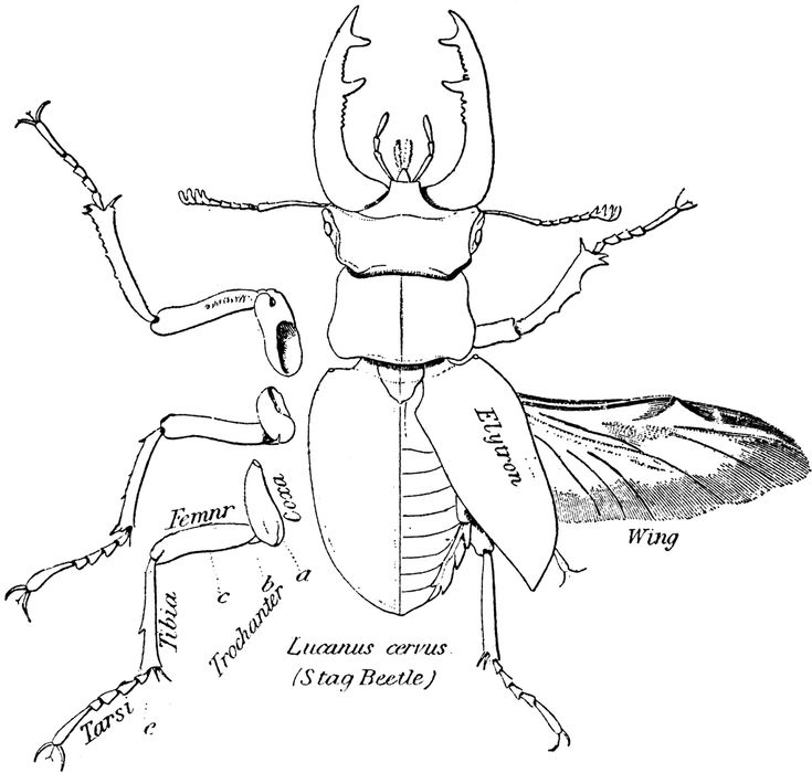 image result for beetle mandible beetlesanimal anatomybugsgoogle search - Animal Anatomy Coloring Book