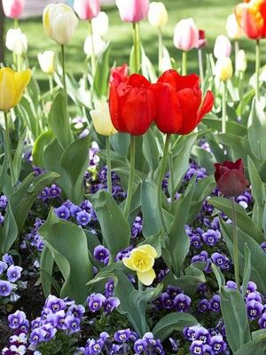 Brilliant red 'Capri' tulip swims in a sea of pastel tulips including 'White Dream', 'Yellow Purissima', gold-and-white 'Sweetheart', creamy 'Ivory Floradale', 'Yellow Flight', white 'Maureen', and white 'Pays Bas'. Purple-and-white violas anchor the bed.  Test Garden Tip: Tulips and violas will fade by the time summer heat hits, so plant heat-loving annuals in the spot.