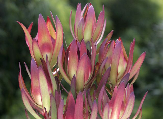 Amy Leucadendron salignum x laureolum This compact shrub will add spectacular variegated colour to your garden autumn through to spring. These eye catching bicolour flowers are suitable for picking arrangements. Ideal for low maintenance, low water use gardens.