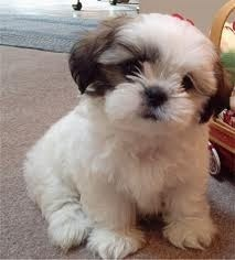 Just nothing cuter than a Shih tzu puppy. theshakybaker