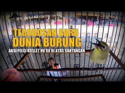 SUARA BURUNG : Pleci Raja Sawer, bandrol 2 Juta, Nyaris Sapu Bersih Kemenangan - YouTube