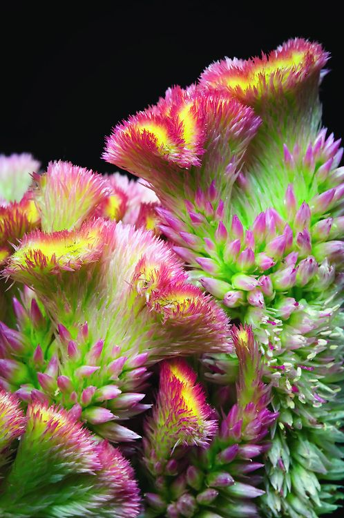 Fasciation of Celosia argentea, commonly known as plumed cockscomb, or thesilver cock's comb. || Matthew Graham Photography.