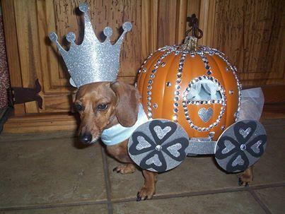 Happy Halloweenie.... Dachshund dressed up as cinderellas pumpkin coach...  Lol