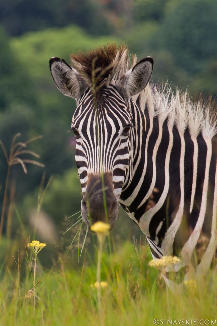 351 best black and white and zebras images on pinterest