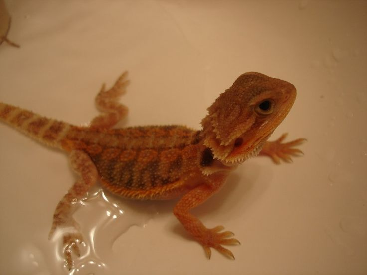Bearded Dragon.  This is my beloved Fenrir who passed away before the end of the year.  My beautiful boy will be missed.    This was him as a little baby :)