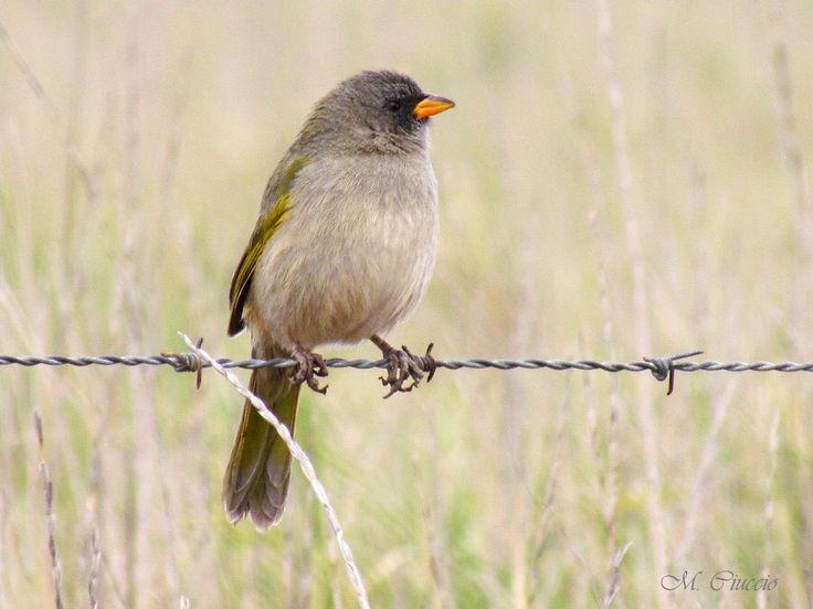 Mejores 53 imágenes de Pájaros de Argentina en Pinterest   Argentina ...