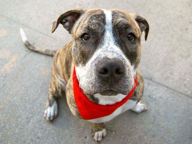 SCRUF MCGRUF - A1097298 - - Manhattan  Please Share:TO BE DESTROYED 11/30/16  A volunteer writes: I bet you thought a dog named Scruf McGruf was going to be a real handful, right? I certainly did when I leashed up this 10 month old big boy but…surprise! I couldn't have been more wrong. This beautiful darling turned out to be the exact opposite, a smooth and surprisingly mature dude with the softest, sweetest nature this side of a marshmallow. Apart from a little